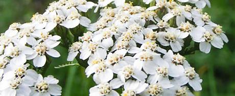 fleur-achillee