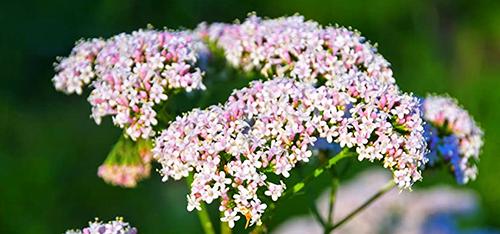plante-valeriane-bio
